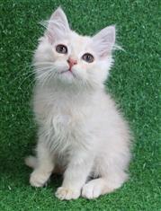 WXW1 Kitten - Ragdoll Kitten, Cat - 431930