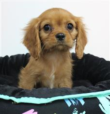 XWX1 Cavalier King Charles Puppy, Dog - 240409