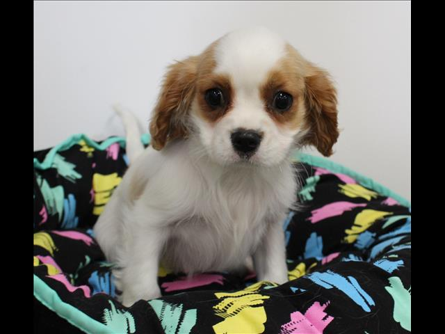 XWX1 Cavalier King Charles Puppy, Dog - 245588