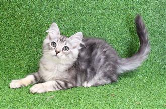 WXW1 Kitten - Ragdoll x Chinchilla Kitten, Cat - 441483