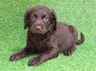 XWX1 Labradoodle (Labrador x Medium Poodle) Puppy, Dog - 244104