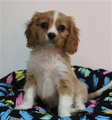XWX1 Cavalier King Charles Puppy, Dog - 240431