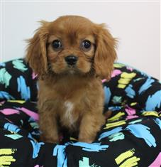XWX1 Cavalier King Charles Puppy, Dog - 240543