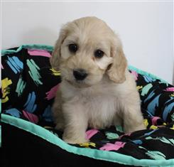 XWX1 Labradoodle (Labrador x Medium Poodle) Puppy, Dog - 349695