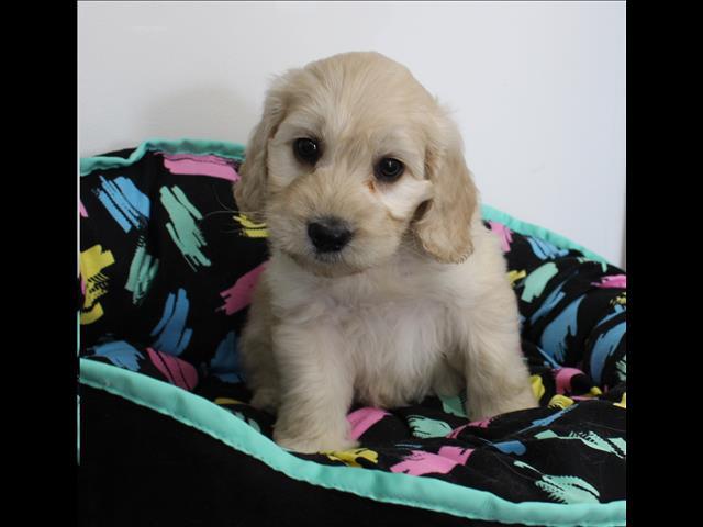 XWX1 Labradoodle (Labrador x Medium Poodle) Puppy, Dog - 349695