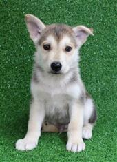 XWX1 Swiss Shepherd x Alaskan Malamute  Puppy, Dog - 456251