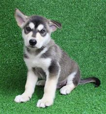 XWX1 Swiss Shepherd x Alaskan Malamute  Puppy, Dog - 439846