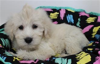 XWX1 Labradoodle (Labrador x Medium Poodle) Puppy, Dog - 369247