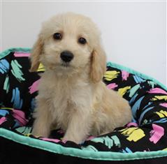 XWX1 Labradoodle (Labrador x Medium Poodle) Puppy, Dog - 480183