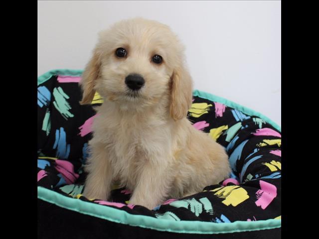 XWX1 Labradoodle (Labrador x Medium Poodle) Puppy, Dog - 480183