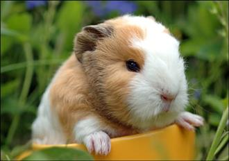 Baby Guinea Pigs now available