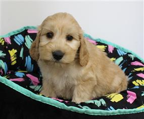 XWX1 Labradoodle (Labrador x Medium Poodle) Puppy, Dog - 502238