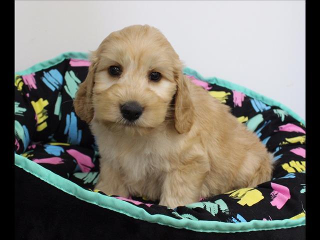 XWX1 Labradoodle (Labrador x Medium Poodle) Puppy, Dog - 502238