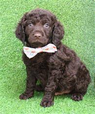 XWX1 Labradoodle (Labrador x Medium Poodle) Puppy, Dog - 244154