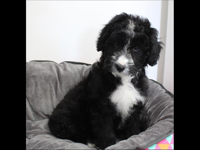 XWX1 Border Collie X Poodle  Puppy, Dog - 286359