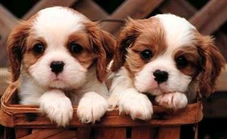 """XWX1 Puppies """"NOW WANTED"""" to buy, prefer litters"""