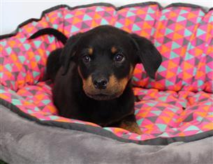 XWX1 Rottweiler - Pedigree Parents Puppy, Dog - 032773