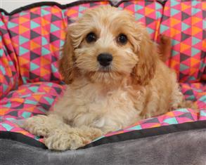 XWX1 Cavoodle (Cavalier KC x Toy Poodle) Puppy, Dog - 240467
