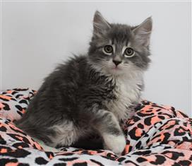 WXW1 Kitten - Domestic Long Hair Kitten, Cat - 465418