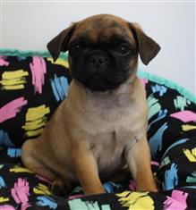XWX1 Pug Puppy, Dog - 240603