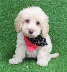 XWX1 Labradoodle Miniature Puppy, Dog - 473275