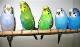 Birds - Baby Budgies, Assorted Colours now available