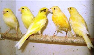 Birds - Canaries (call for availability)