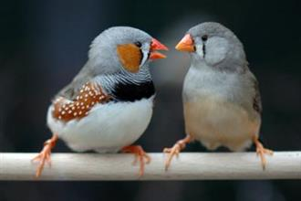 Birds - Zebra Finches (call for availability)