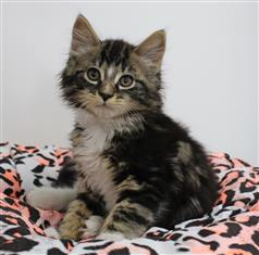 WXW1 Kitten - Domestic Long Hair Kitten, Cat - 565273