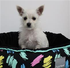 XWX1 Maltese x Chihuahua Puppy, Dog - 258583