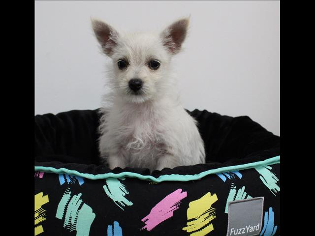 XWX1 Maltese x Chihuahua Puppy, Dog - 258583