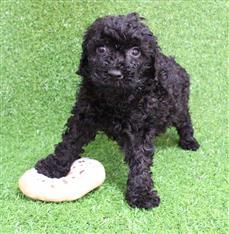 XWX1 Labradoodle (Labrador x Medium Poodle) Puppy, Dog - 244057