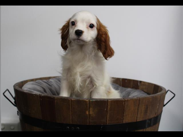 XWX1 Cavalier King Charles Puppy, Dog - 243239