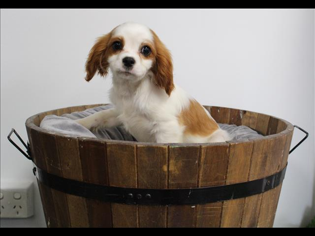 XWX1 Cavalier King Charles Puppy, Dog - 245743