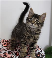 WXW1 Kitten - Domestic Long Hair Kitten, Cat - 438693