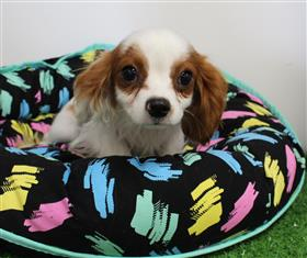 XWX1 Cavalier King Charles Puppy, Dog - 245696