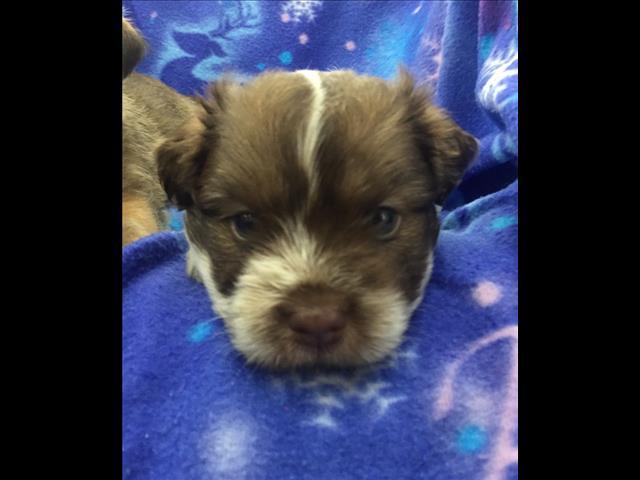 West Highland White Terrier x Shih Tzu/Maltese Puppies