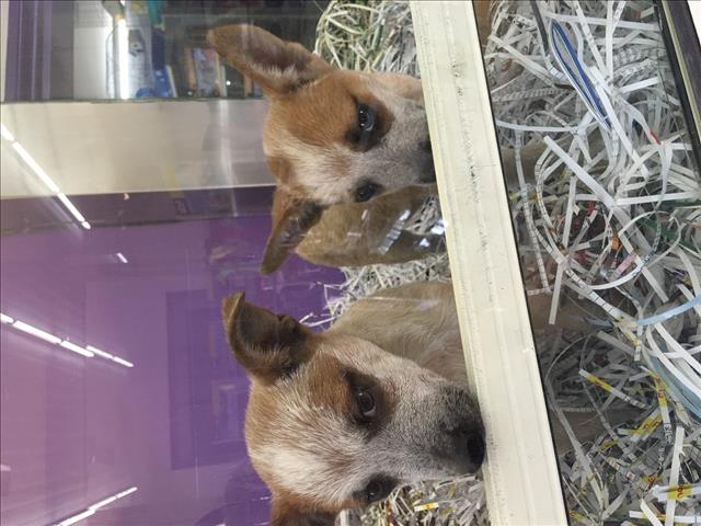 Red cattle pups