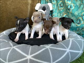 Original Purebred Tenterfield Terrier Puppies available soon