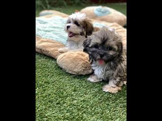 ShihTzu x Maltese SUPER CUTE puppies boys available for adoption NOW