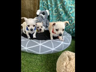 Purebred Apple Dome Miniature Chihuahua Puppies!