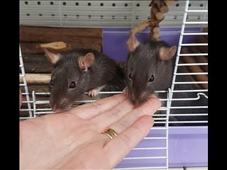 RATS - Smart, Cuddly and Super Cute! www.thepethouse.com.au
