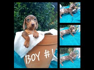 PUREBRED DAPPLE MINIATURE DASCHUND PUPPIES