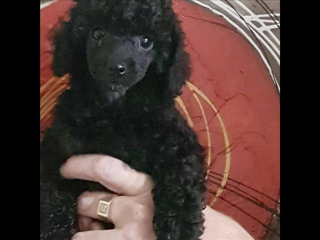 PUPPIES FOR SALE WE SHIP AUSTRALIA WIDE WEEKLY WITH JET PETS