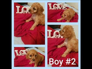 TOY CAVOODLE PUPPIES.....COMING SOON