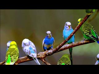 BUDGIES AT CARRARA PET SHOP