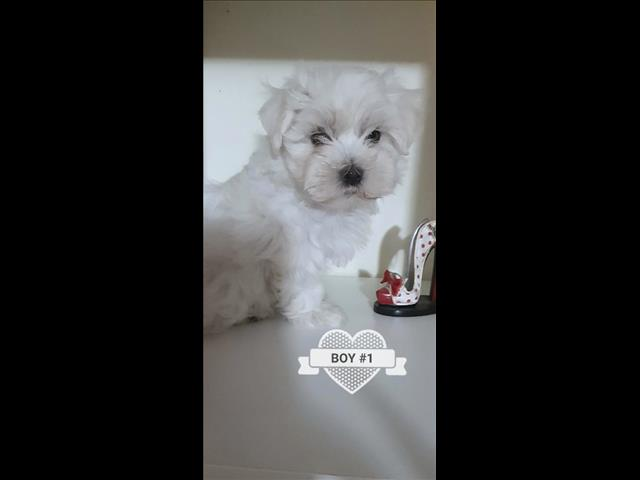 PUPPIES AVAILABLE SHIPPING AUSTRALIA WIDE