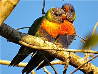 HAND RAISED BABY LORIKEETS