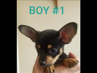 CHIHUAHUA  X TOY FOXY PUPPIES
