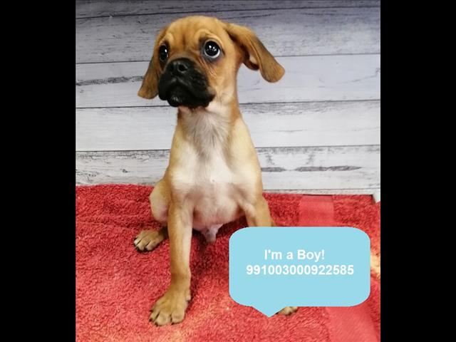 Adorable Pugalier (Pug x Cavalier)  Puppies Available in Our Pet Shop in Sydney Now!
